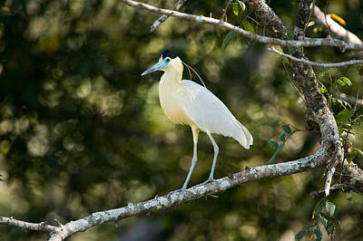 Three Brothers Photograph - Capped Heron Pilherodius Pileatus by Panoramic Images