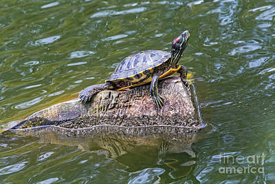 Photograph - Captain Turtle by Kate Brown