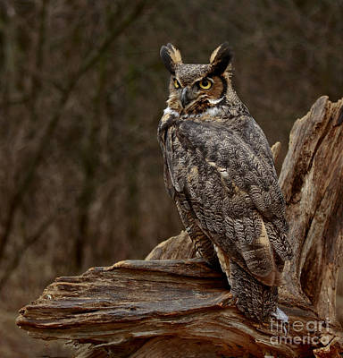 Captivated By The Great Horned Owl Print by Inspired Nature Photography Fine Art Photography