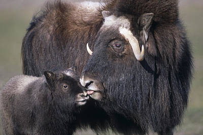 Caring Mother Photograph - Captive Adult Female Musk Ox With Calf by Doug Lindstrand