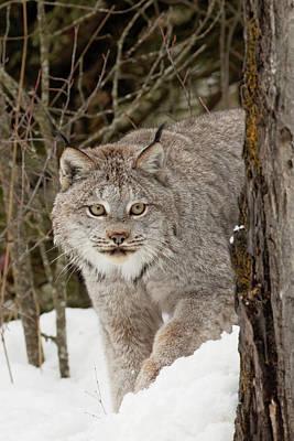 Lynxes Photograph - Captive Canada Lynx Or Canadian Lynx by Adam Jones
