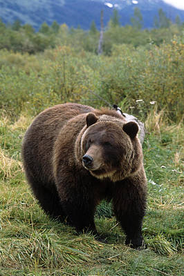 Photograph - Captive Grizzly Bear At The Alaska by Doug Lindstrand