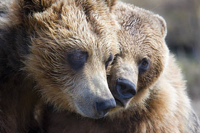 Animals Photos - Captive Grizzly Bears Playing At The by Michael Criss