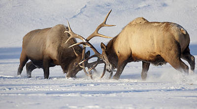Butting Heads Photograph - Captive Roosevelt Elk Fight During Rut by Doug Lindstrand
