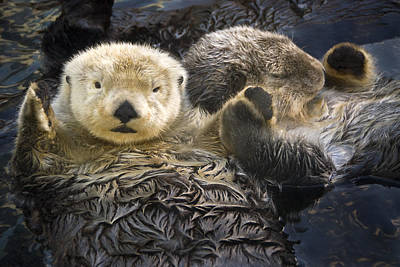 British Columbia Photograph - Captive Two Sea Otters Holding Paws At by Tom Soucek