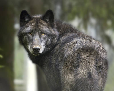 Christmas Trees - Captive Wolf At The Alaska Zoo by Michael Criss