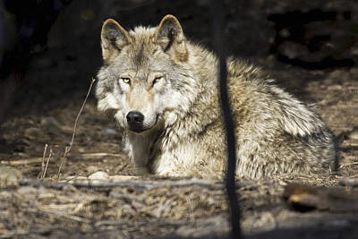 Animals Photos - Captive Wolf Rests At The Alaska Zoo by Michael Criss