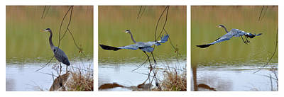 Capturing The Great Blue Heron   - 09939535-6-7 Art Print