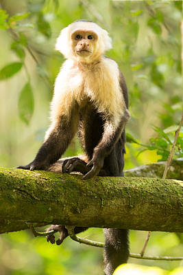Capuchin Photograph - Capuchin Monkey In Costa Rica by Natural Focal Point Photography