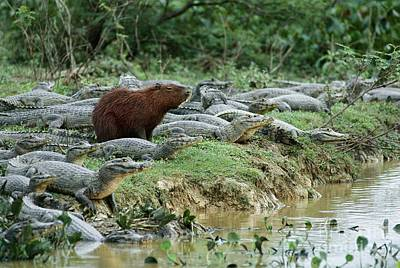 Photograph - Capybara Amongst Caimans by Eric Soder