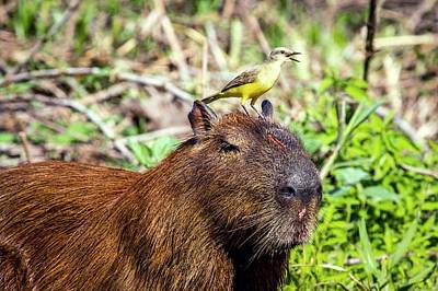 Capybara And Cattle Tyrant Art Print