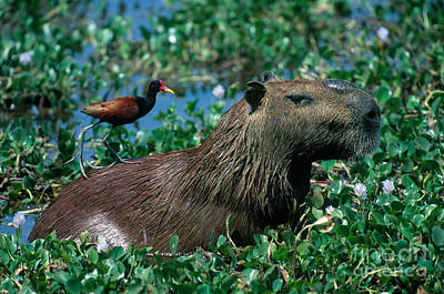 Photograph - Capybara And Jacana by Francois Gohier