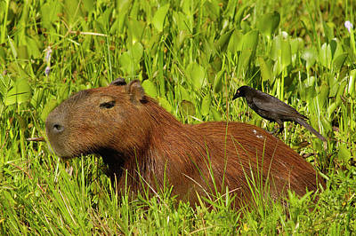 Mato Photograph - Capybara And Smooth Billed Ani by Pete Oxford