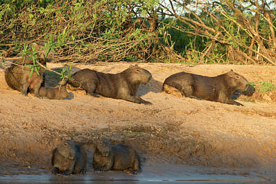 Capybara Family Resting On The Beach Art Print by Jan and Stoney Edwards