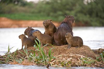 Capybara Hydrochoerus Hydrochaeris Art Print by Panoramic Images