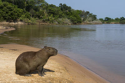 Mato Photograph - Capybara Pantanal Mato Grosso Brazil by Pete Oxford