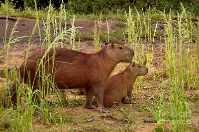 Photograph - Capybaras In The Pantanal Of Brazil by Gregory G. Dimijian, M.D.