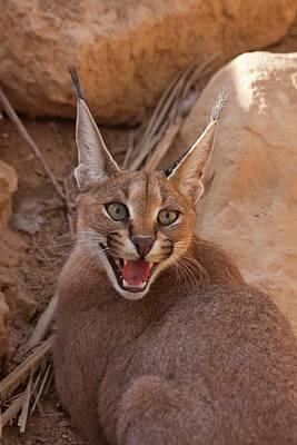 Large Mammals Photograph - Caracal (caracal Caracal) by Photostock-israel