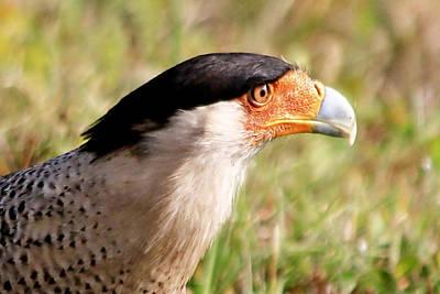 Photograph - Caracara Closeup by Ira Runyan