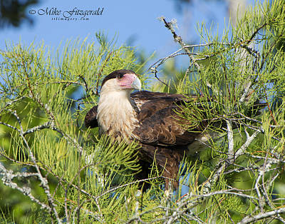 Photograph - Caracara by Mike Fitzgerald