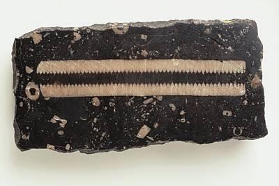 Crinoid Photograph - Carboniferous Limestone With Crinoid Stem by Dorling Kindersley/uig