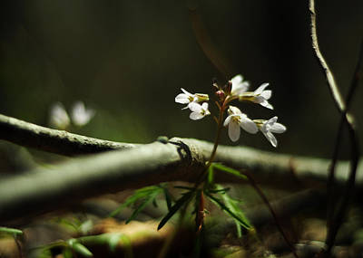 Forest Floor Photograph - Cardamine Concatenata Cutleaf Toothwort by Rebecca Sherman
