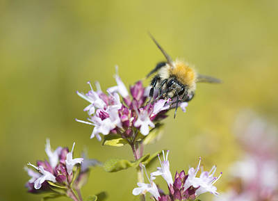 Photograph - Carder Bee by Steven Poulton