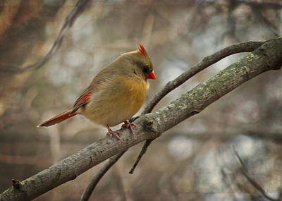 Photograph - Female Cardinal by Ron Grafe