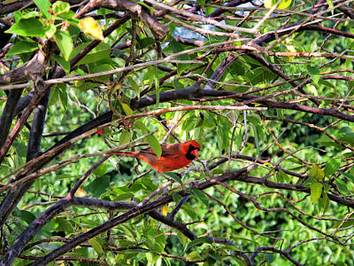 Photograph - Cardinal 1 by Dawn Eshelman
