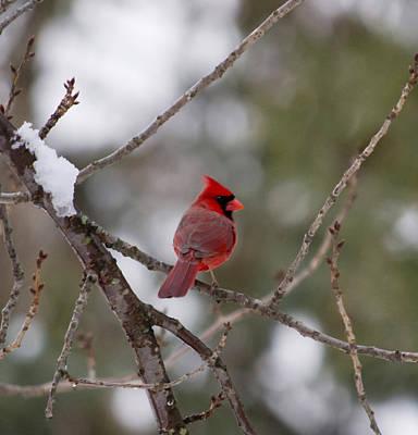 Photograph - Cardinal - A Winter Bird by Jatinkumar Thakkar