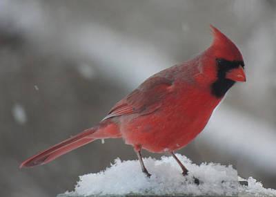Photograph - Cardinal by Amalia Jonas