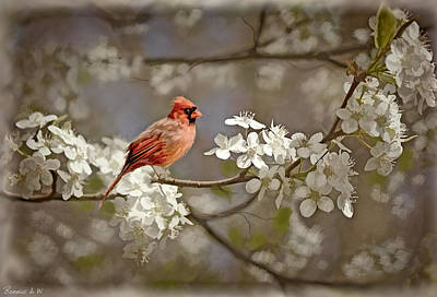 Cardinal And Blossoms Art Print by Bonnie Willis