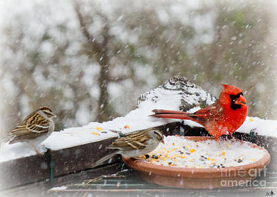 Photograph - Cardinal  And Sparrows In  The Snow by Sandra Clark