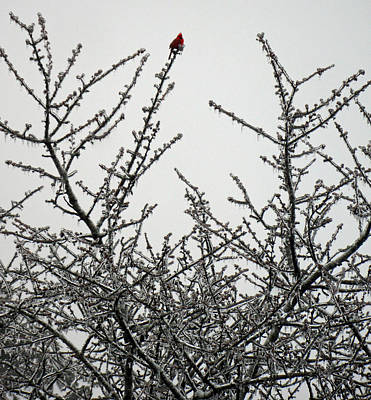 Photograph - Cardinal And The Frost by Cyryn Fyrcyd