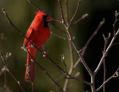 Digital Art - Cardinal by Angel Cher