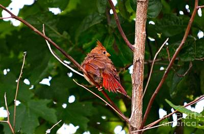 Photograph - Cardinal Bird Baby by Peggy Franz