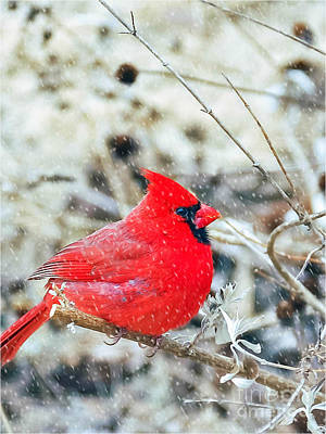 Photograph - Cardinal Bird Christmas Card by Peggy Franz