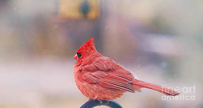 Photograph - Cardinal Bird  by Peggy Franz