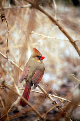 Art Print featuring the photograph Cardinal Birds Female by Peggy Franz