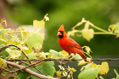 Photograph - Cardinal by Bj Hodges