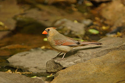 Photograph - Cardinal By The Pond by Sandy Keeton