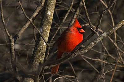 Cardinal Art Print by Cheryl Cencich