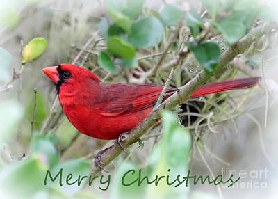 Photograph - Cardinal Christmas Card by Carol Groenen