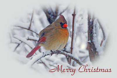 Photograph - Cardinal Christmas  by Sandy Keeton