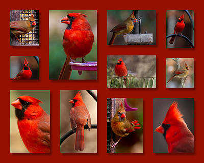Photograph - Cardinal Collage by Robert L Jackson