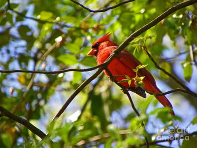 Photograph - Cardinal Color by Eve Spring