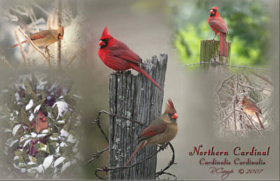 Photograph - Cardinal Composite by Robert Camp