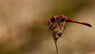 Photograph - Cardinal by Darren Bradley