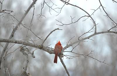 Art Print featuring the photograph Cardinal Delight by Dacia Doroff
