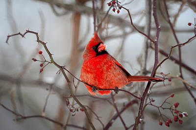 Photograph - Cardinal by Emmanuel Panagiotakis